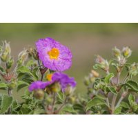 copy of Rock Rose organic...